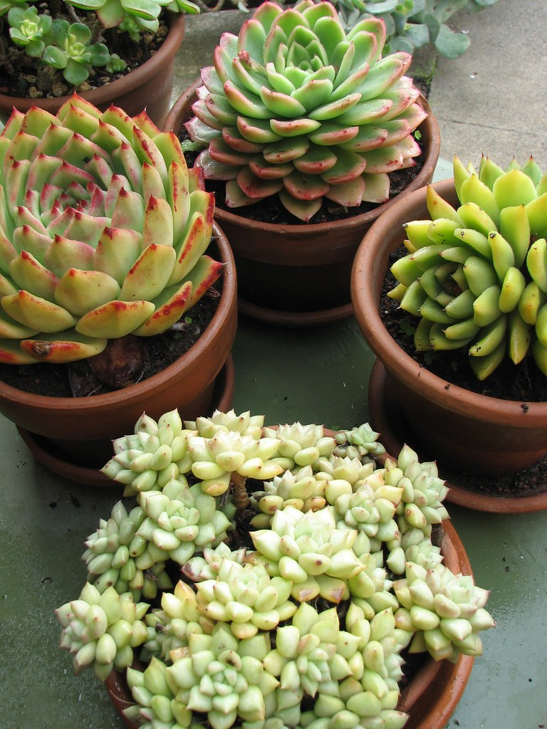 SOME OF OUR POTTED SUCCULENT COLLECTION WE HAVE A VARIETY FLICKR