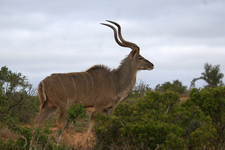 Male Kudu | by Bird Brian