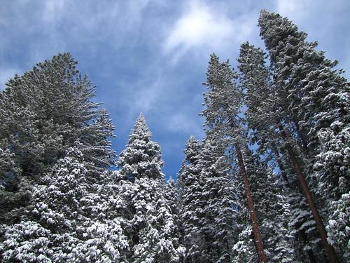 california trees winter snow honeymoon yosemite yosemitenationalpark adventures sequoia giantsequoias mariposagrove 2010march