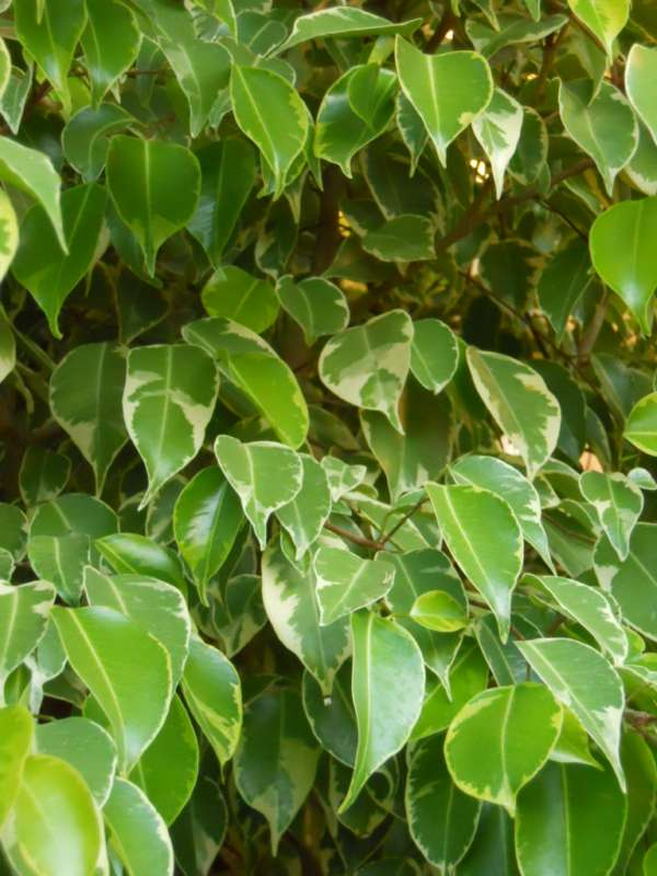 Ficus benjamina 'Golden King' v 1