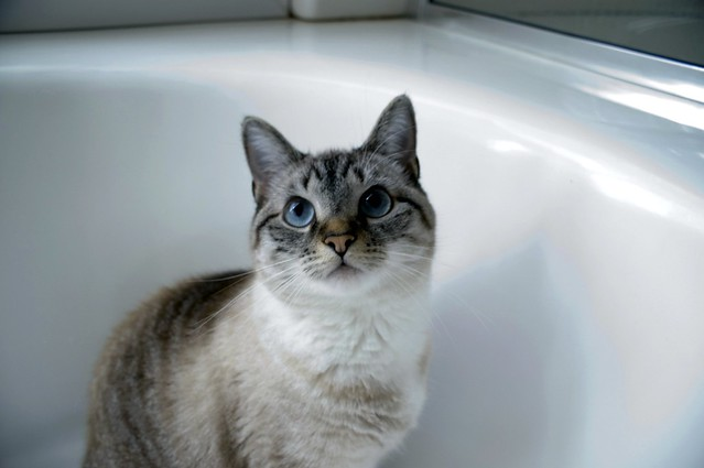 Pieces the Cat Hanging Out in the Bathtub