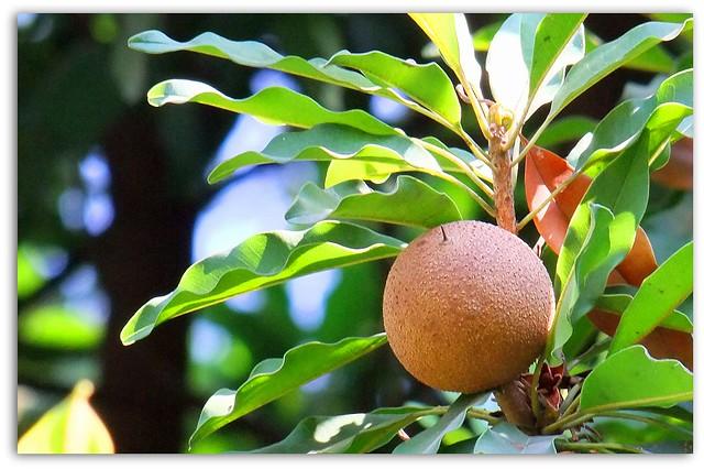 Chico Zapote. Deliciosa Fruta Mexicana