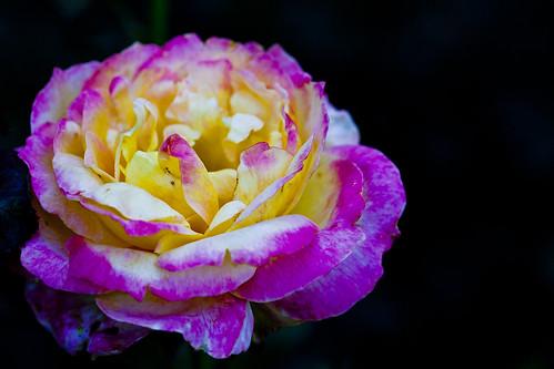 Pink n yellow rose