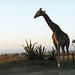 Giraffe - Lion Park South Africa