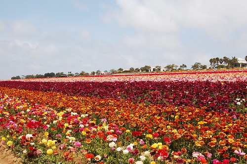Flower Fields 2011   by Minarae