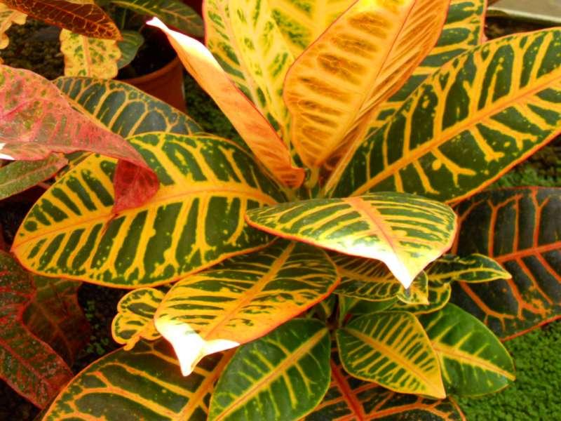 Codiaeum variegatum 2