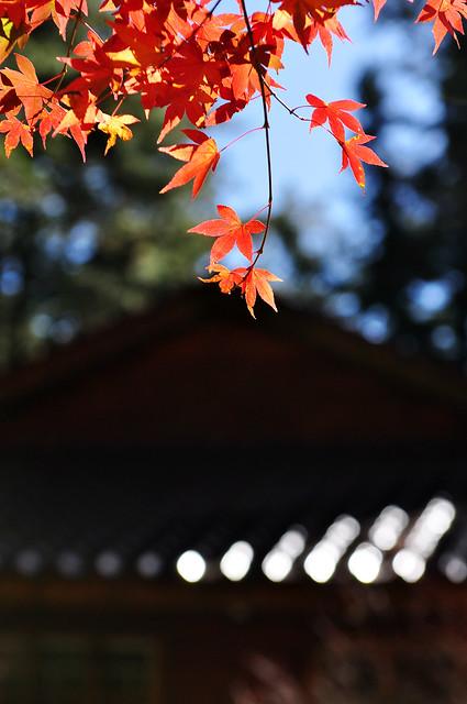 Maples whisper 楓之細語