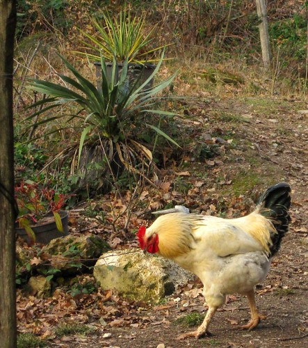 This young cock has just lost a fight | by hardworkinghippy : La Ferme de Sourrou