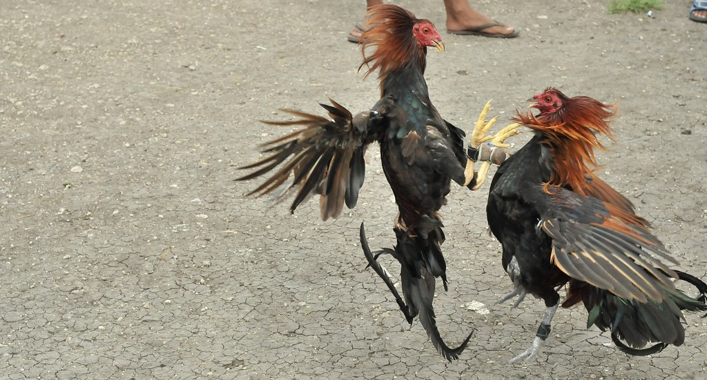 sabong | A cockfight is a blood sport between two roosters