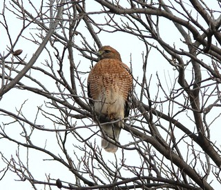 Red-shouldered Hawk (Buteo lineatus) | by Victor W. Fazio III