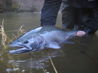 Wild Oregon Winter Steelhead | by ethan nickel