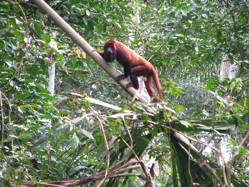 Red Howler Monkey | by mk_myles