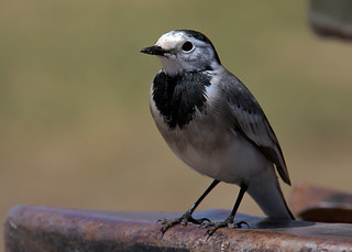 White Wagtail | by eojbayara