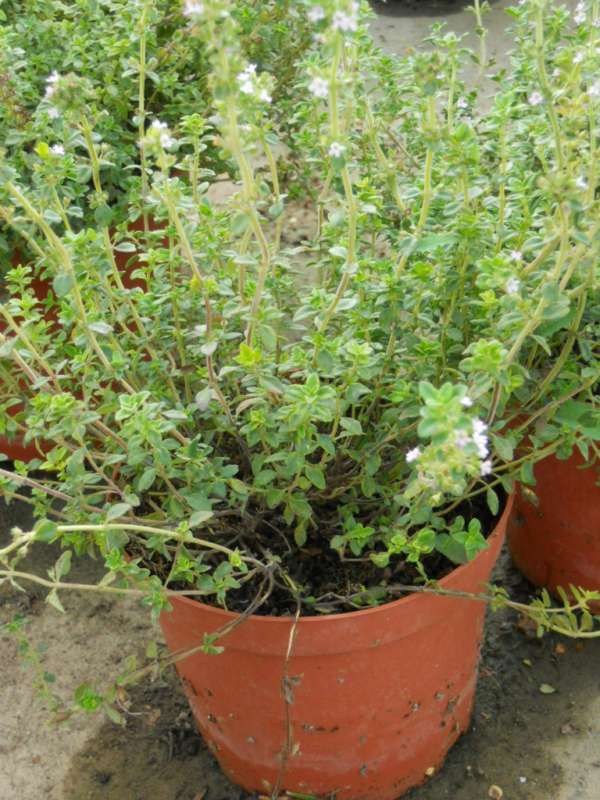 Thymus citronella v 1
