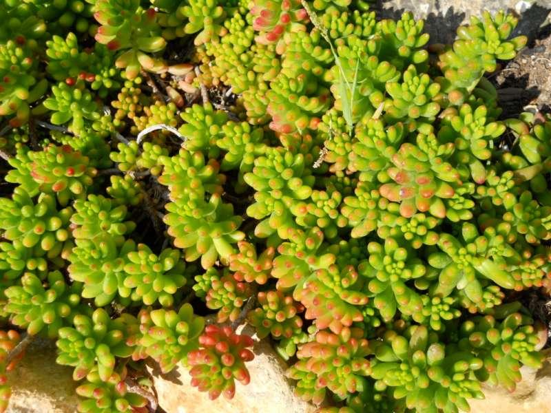 Sedum album 'Coral Carpet' 3