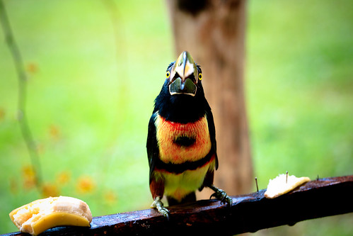 Collared Aracari | by mTuttle