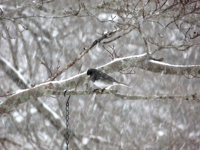 Dark-eyed Junco Winter