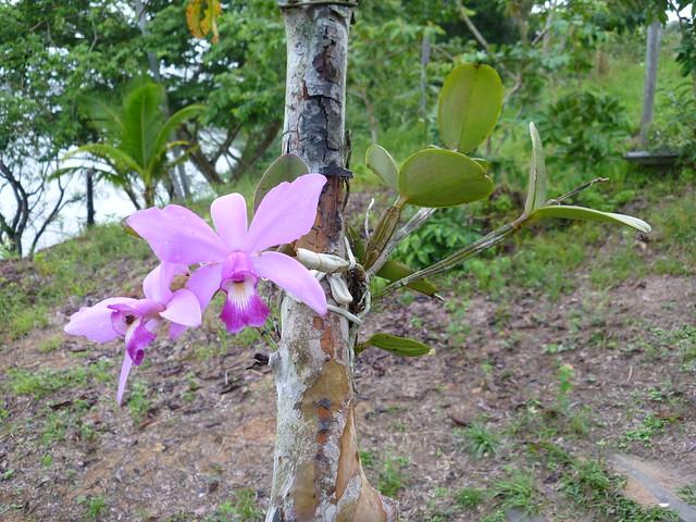 Wild Cattleya violacea, Mamori River, Amazonas, Brazil