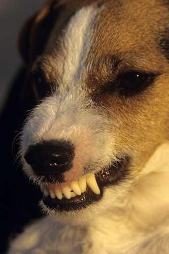 Jack Russell Terrier growling with fangs showing