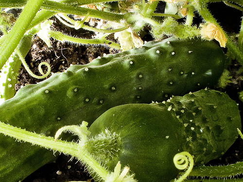 r_150717046_cuke_a | by Mitch Waxman