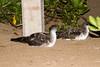 Wedge-tailed Shearwater at Kihei IMG_5643 by grebberg