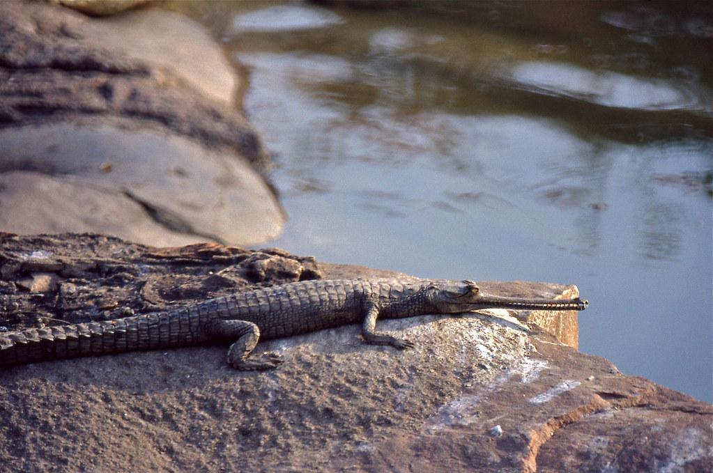 Crocodile in the Chambal Garden Kota