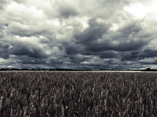 blackandwhite field rural countryside cloudy stormy crop agriculture day209 iphone odc wheatfield 2015 365project iphone6 365daysor52weeks 2015yip 365the2015edition 3652015 2015ayearinpictures 2093652015