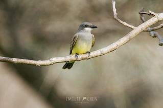 Cassin's Kingbird (Tyrannus vociferans) | by emiliechenphotography