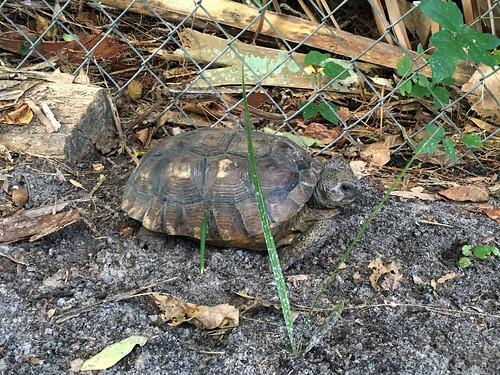 Gopher Tortoise   by magnificentfrigatebird