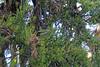 Fan-tailed Berrypecker, Lake Habbema, West Papua