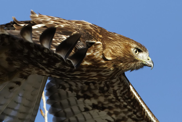 Red-tail hawk up close