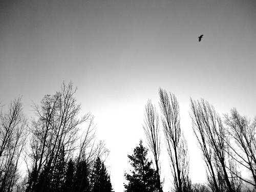 trees winter canada bird creek forest fly flying george bc flight prince columbia varsity british common raven corax corvus corvidae