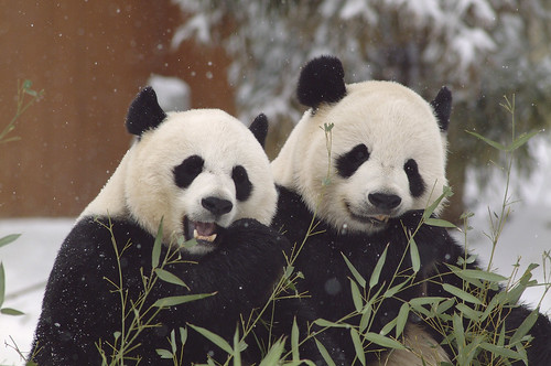 Giant Pandas | by Smithsonian's National Zoo