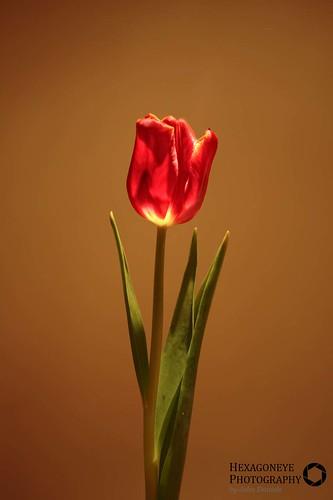 24/365 Tulip   by Hexagoneye Photography