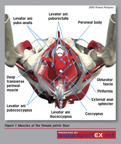 Muscles of the female pelvic floor | by sportEX journals