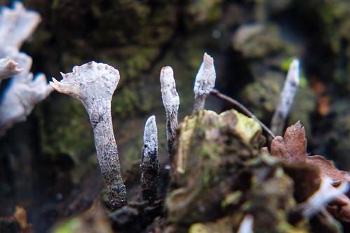 Candle snuff fungi