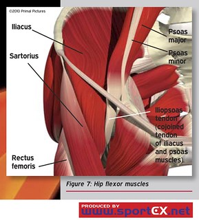 Hip flexor muscles | by sportEX journals