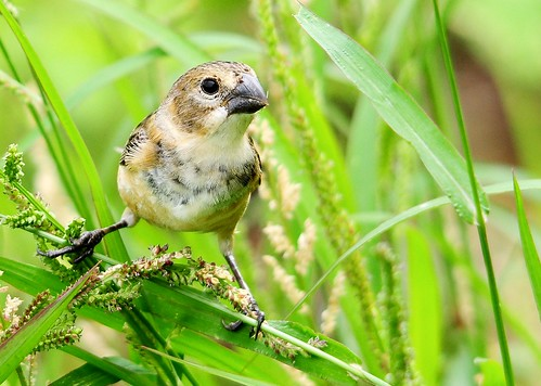 Coleiro-do-brejo (Sporophila collaris) | by jarbas mattos