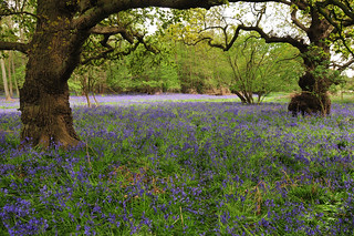 Bluebell meadow, Suffolk