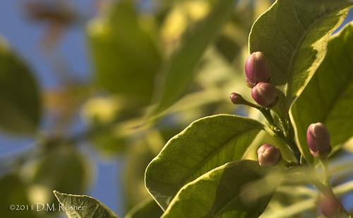 pink lemon blossom