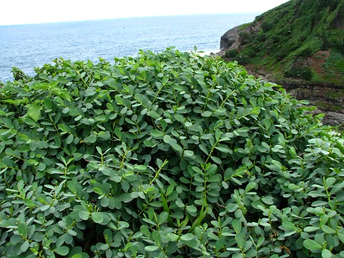 Euphorbia celastroides var. stokesii | by D.Eickhoff