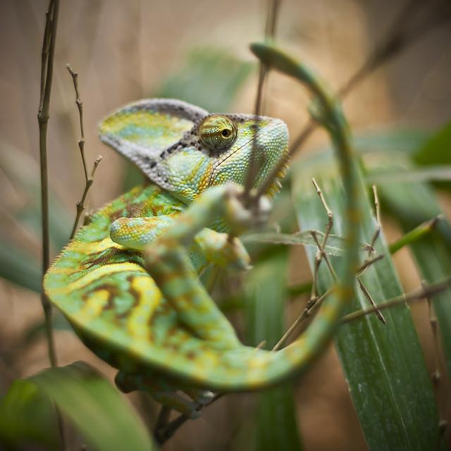 chama chama chama chameleon