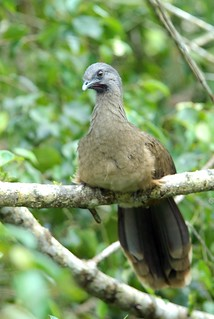 Plain Chachalaca | by birding4ever