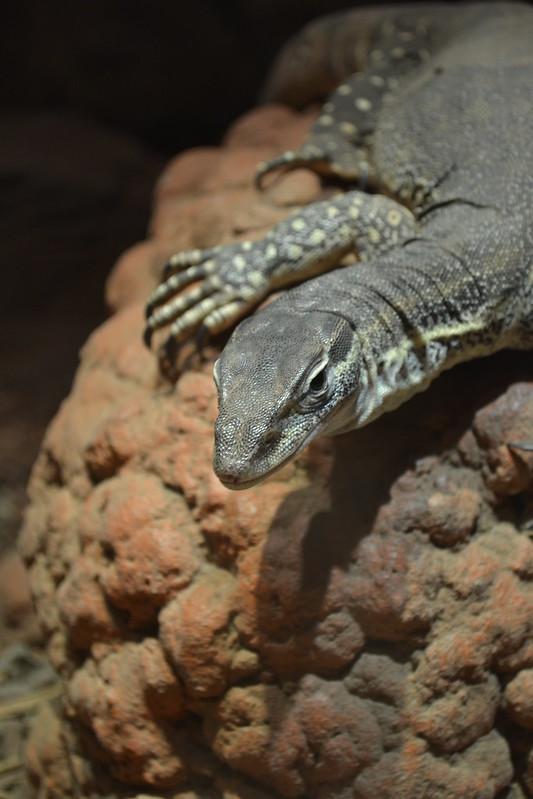 Rocky Reptile