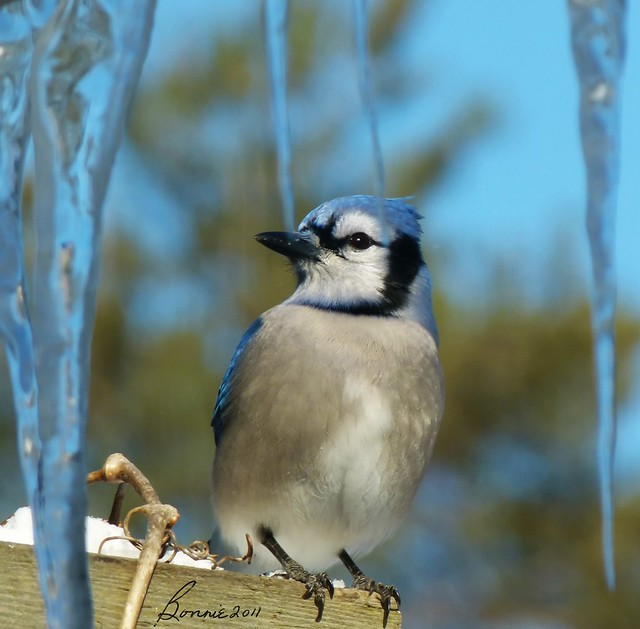 Mr Bluejay wishes he had gone south this winter.......