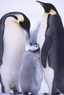 Emperor penguins and chick at Snow Hill Island rookery | by Exodus Travels - Reset your compass