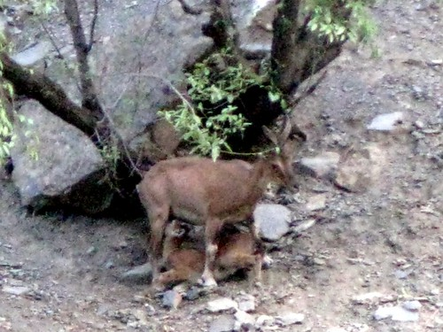 animals wildlife markhor chitral