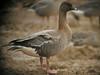 Pink-footed Goose, Amner - Shernborne (Norfolk), 11-Jan-11 by Dave Appleton