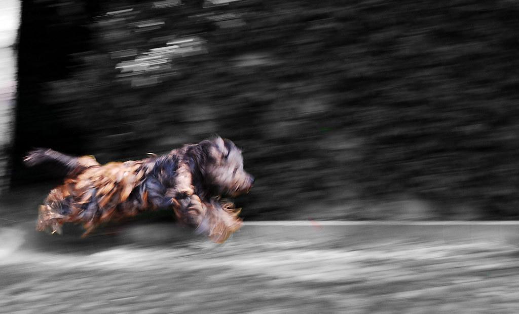 Desmo cane pastore bergamasco neve corsa alberto for Alberto pastore