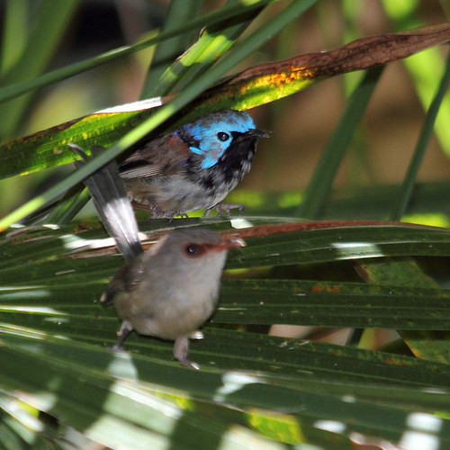Variegated Fairy-wrens | by boombana